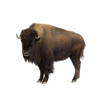 Bison or American Buffalo